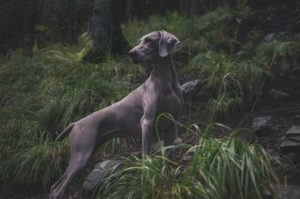 Gray hunting dog in the woods.